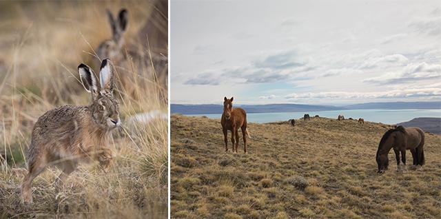 在冰川國家公園附近和卡拉法特郊區,有很多馬場,也會見到野兔出沒。
