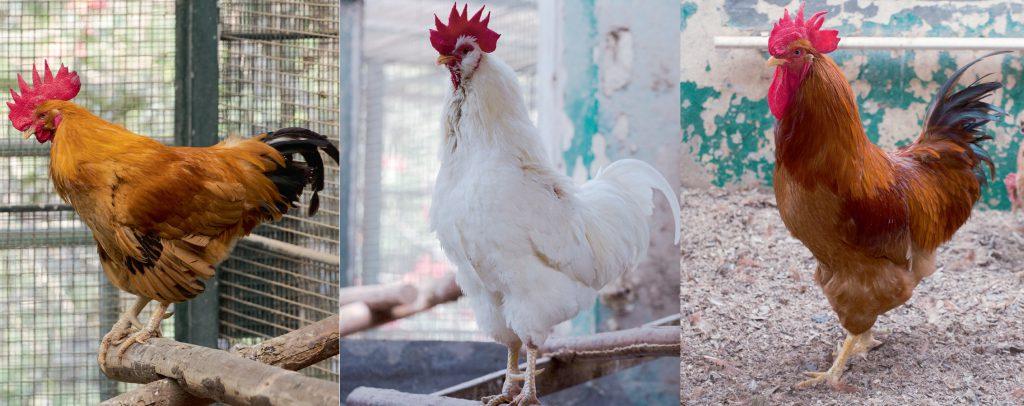 (左)黃惠州雞,農場保留了最純的原種。 (中)白惠州雞,肉質較嫩,也較有雞味。 (右)美國紐咸西雞,身形較大。