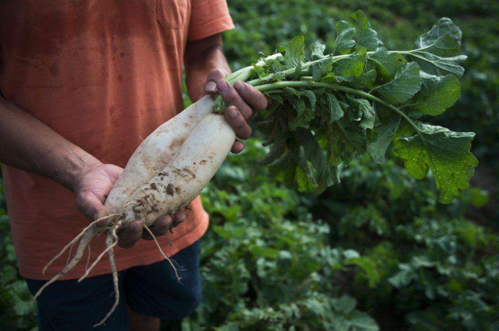 現在蘿蔔還沒長成,目標是長到三斤一隻。