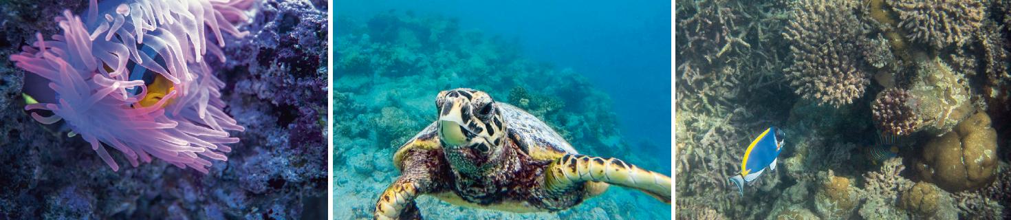 (左)克氏雙鋸魚,又稱克氏海葵魚,躲在粉紅的奶嘴海葵中。這條魚的黏膜保護牠不受海葵的刺所傷害。 (中)友善的Hawksbill海龜因為被捉、吃入塑膠等人類導致的原因,全世界的數量都在減少。(Lisa D'Silva攝) (右)馬爾代夫常見刺尾魚,又稱「外科醫生魚」。尾柄上有硬棘,鋒利如刀,遭受威脅時保護自己。