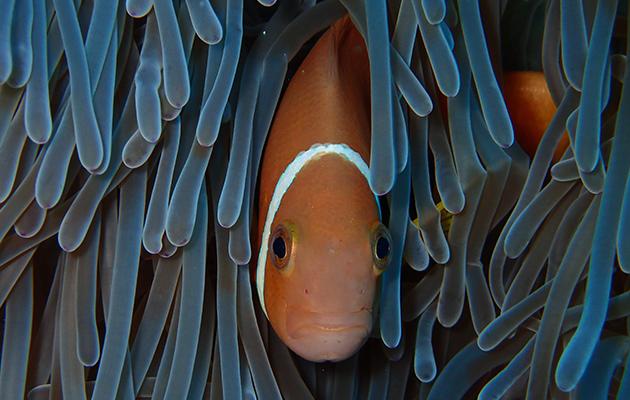 淺水礁湖中健康的珊瑚在早前的白化危難中頑強生存了下來。珊瑚作為魚類的食物來源和棲息地,同時也為小島抵禦巨浪衝擊。(Lisa D'Silva攝)
