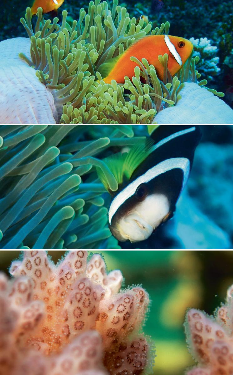 (上)海葵的觸手帶刺,馬爾代夫小丑魚(淺色雙鋸魚)可以與之共生,因體表有厚厚的黏膜。 (中)克氏雙鋸魚(又稱克氏海葵魚)看住美妙的公主海葵。年輕時這種魚是橘色並且有三條白線,老了顏色變深為咖啡和黑色。 (下)珊瑚群特寫。珊瑚蟲的小觸手可以捉住經過的浮游生物。 (以上圖片由Lisa D'Silva攝)