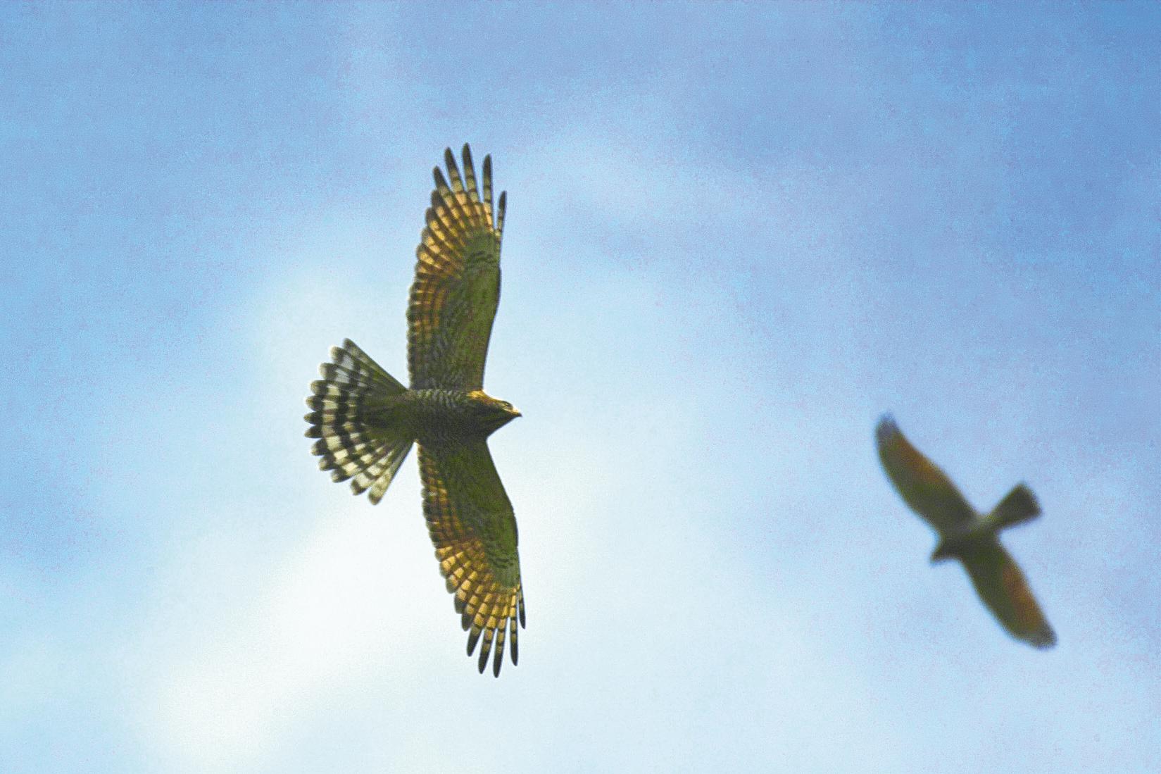 國慶鳥灰面鵟鷹(屏科大森 林系社區林業研究室提供)