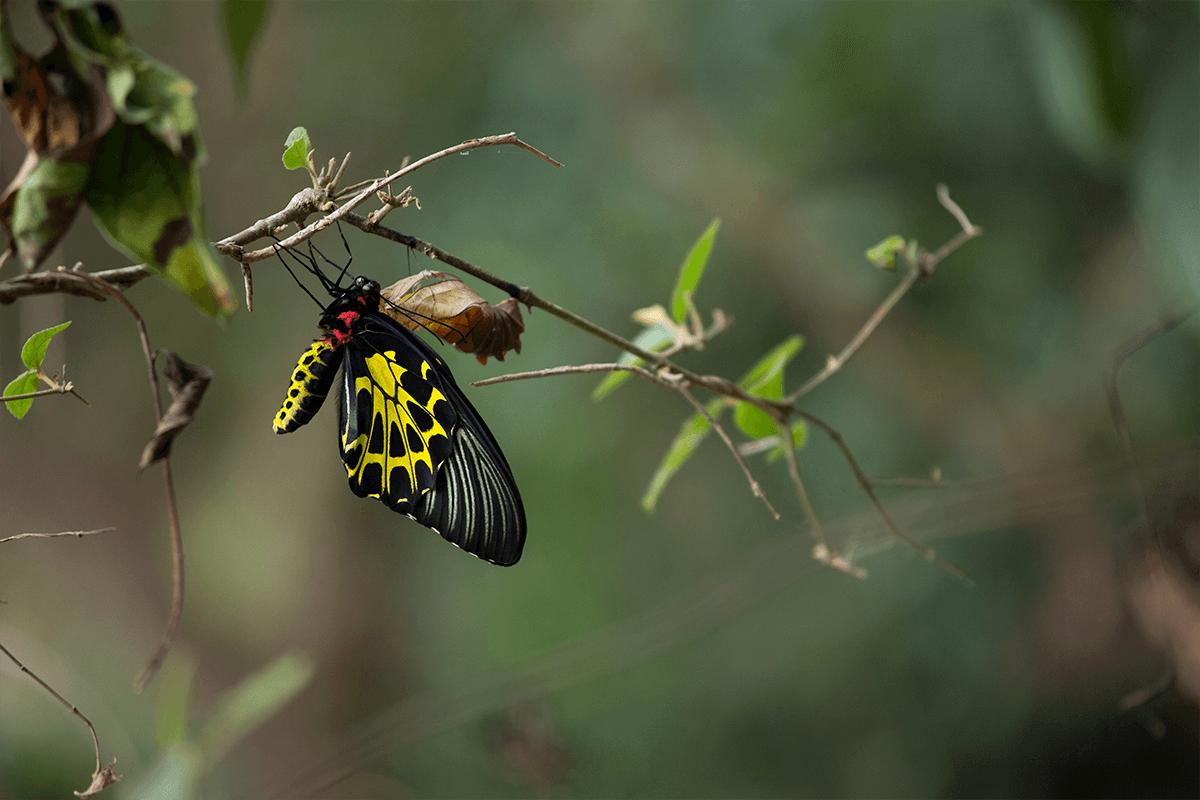 偶遇黃賞鳳蝶破蛹而出的瞬間
