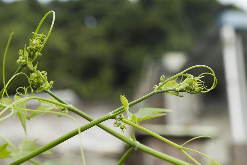 龍鬚菜是合掌瓜的嫩芽,同樣可煮可吃;像台灣人喜歡涼拌撈麻醬,又或者以豆醬炒。