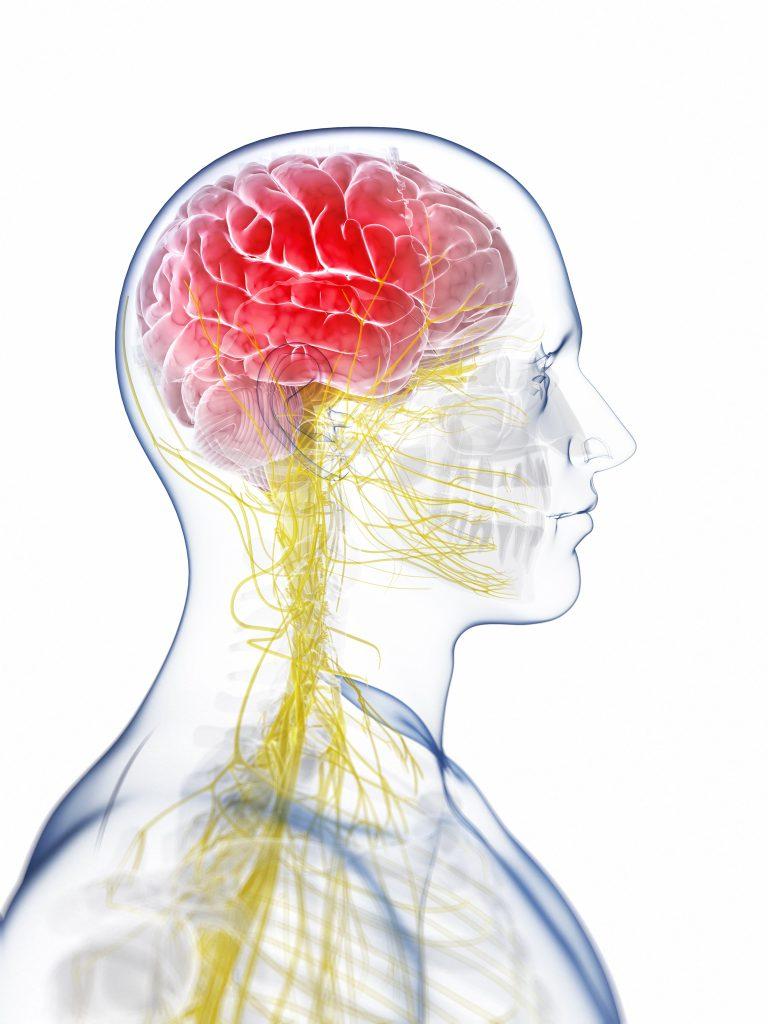 Human brain anatomy, computer artwork.