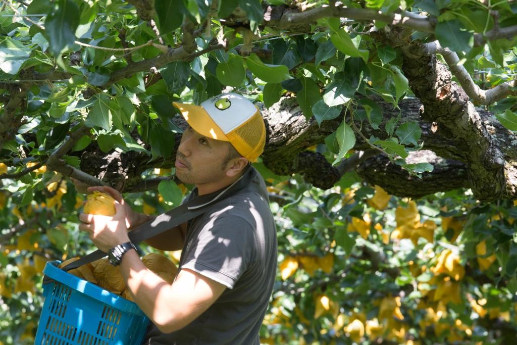 藤井栄一郎雖然年輕, 但從婆婆一代開始已種植二十世紀梨。現在梨園已交他全權打理,每年當有好收成,不禁露出一臉的滿足。