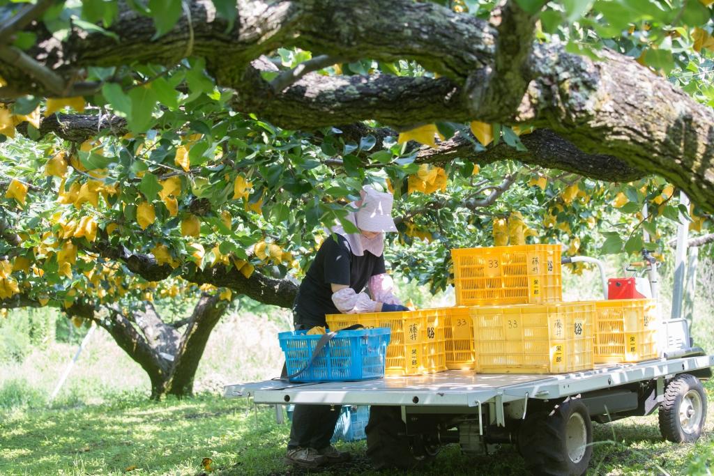 日本受制於地理環境影響,每至8月後收成期常被颱風威脅,於是梨農刻意搭建梨棚,把梨樹矯得又矮又寬,透過橫向生長,讓果實更能健康成長。