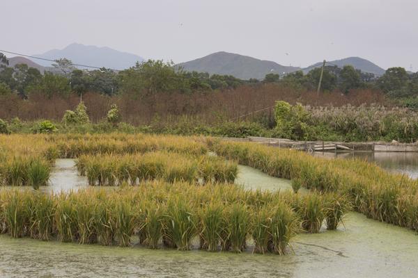 塱原的農夫每年都會留一片水稻田給禾花雀吃,人鳥共生。