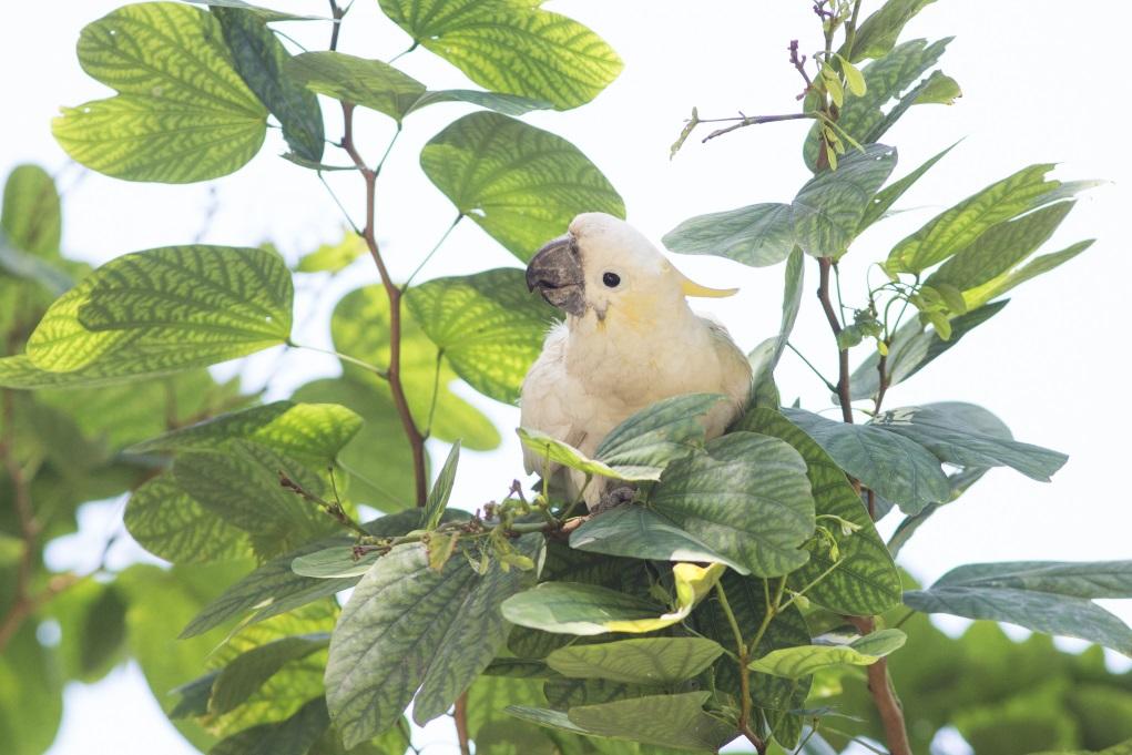城市觀鳥有時也講彩數,早前Pamela就在香港公園發現這隻少見的小葵花鳳頭鸚鵡。