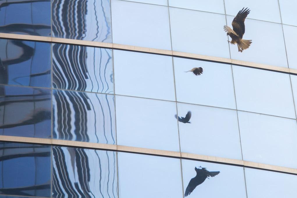 大廈玻璃幕牆反射了天空,雀鳥一不小心就會撞去。
