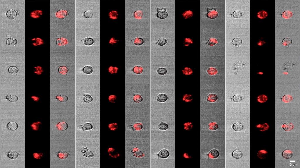 FACED激光掃描技術可應用於發展新一代高速生物醫學顯微鏡,用作單細胞成像分析。(圖片由香港大學提供)
