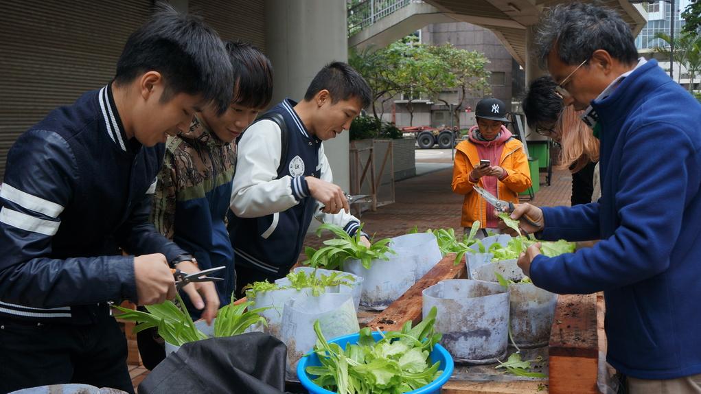 十二月種的油墨菜已能收成。