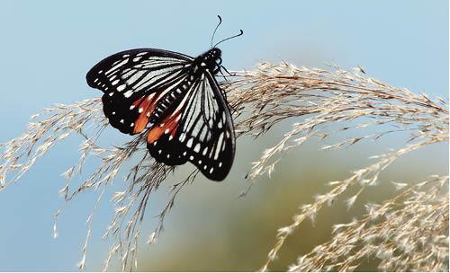 褐斑鳳蝶,常見於春天。
