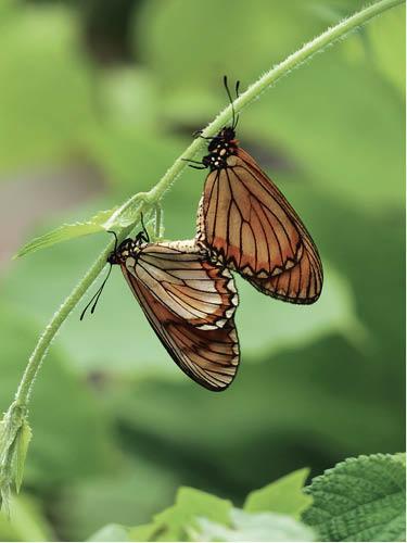 除了拍攝成蟲,蝴蝶交尾,也是拍攝的好題材。