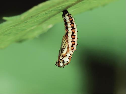 幼蟲吐絲結蛹,以為都是啡啡黑黑沒啥看頭,其實不同的蝴蝶品種的蛹也有不同的形態,色彩亦見斑斕。(蝴蝶圖片由受訪者提供)