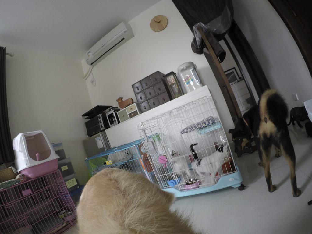 除了三隻貓弟妹,家中經常有待領養的貓客暫住。