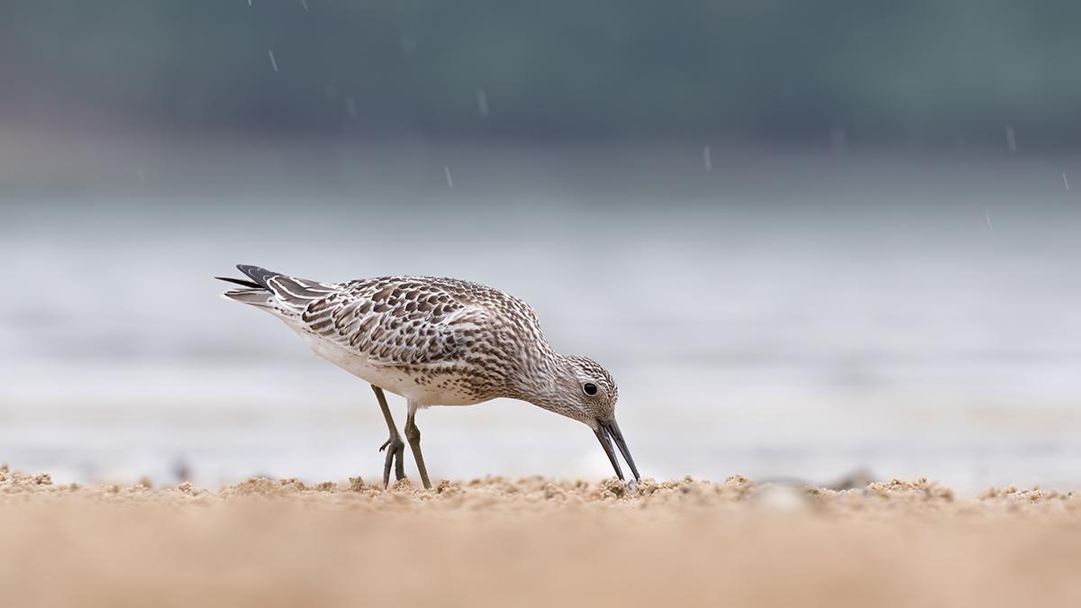 雨天下,泥灘上覓食的大濱鷸多了份優雅。(FHS Wildlife圖片)