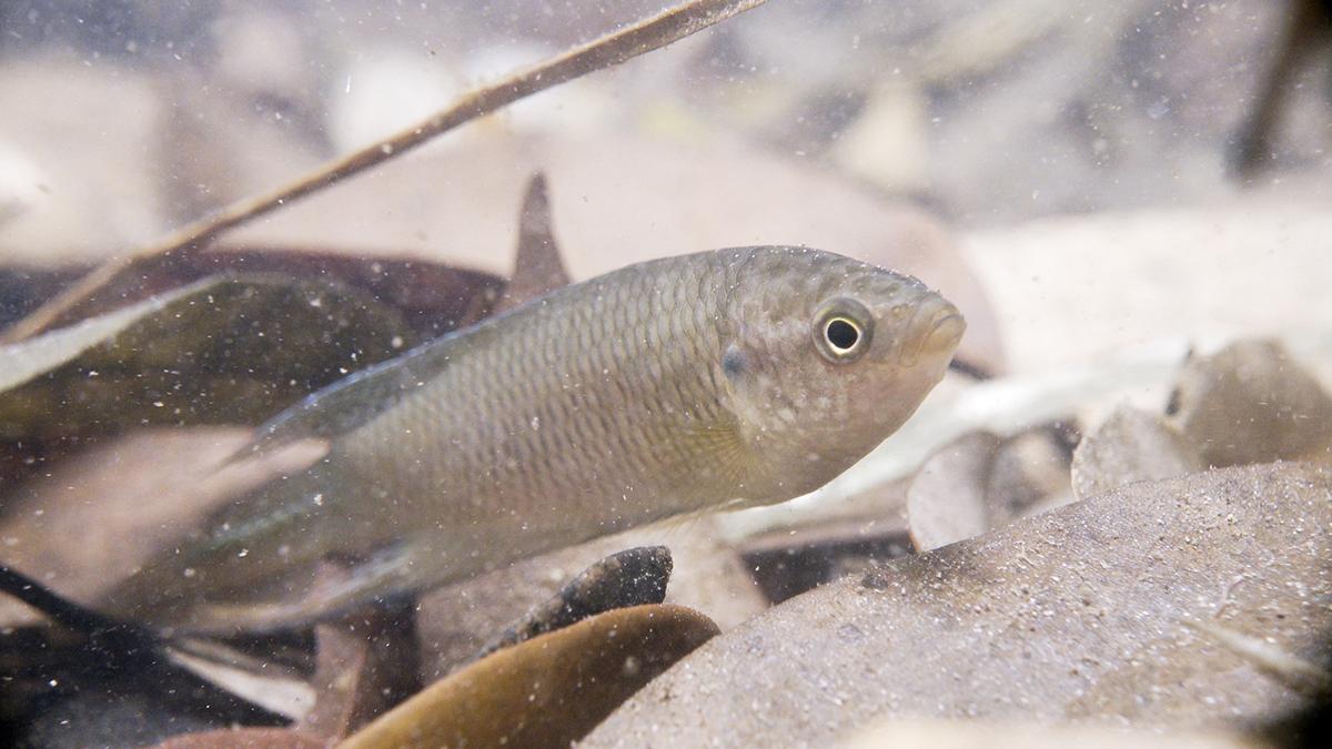 沙螺洞的荒廢農田和河流是香港鬥魚的棲息地,但面對發展威脅。(FHS Wildlife圖片)