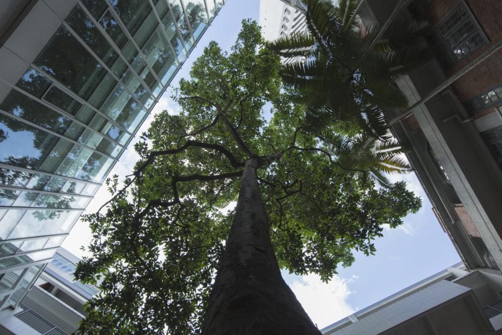 校園裏面的白蘭樹,是學校地標之一,多年來一直聳立在校園內,見證學校不同的年代的改變。