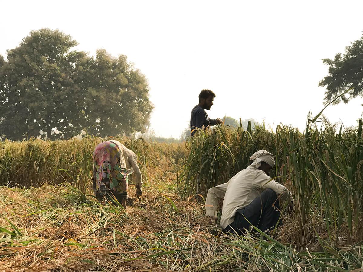 農夫把收割稻米打穀 後,剩下的禾稈便會用機器打碎,成為牛隻的飼料,牛牛吃得清,排出來的糞便自然也只有草味。