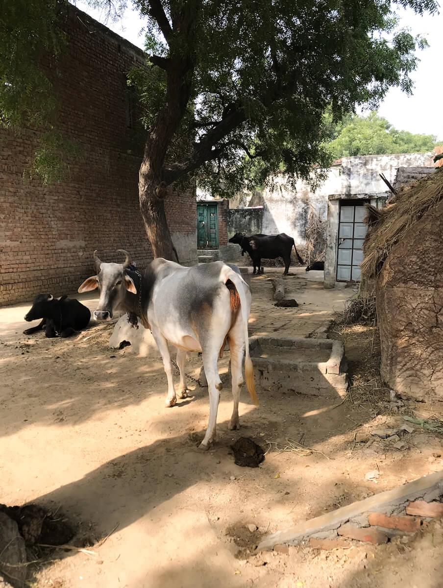 來到德里農村,迎接他們的是正在便便的牛。