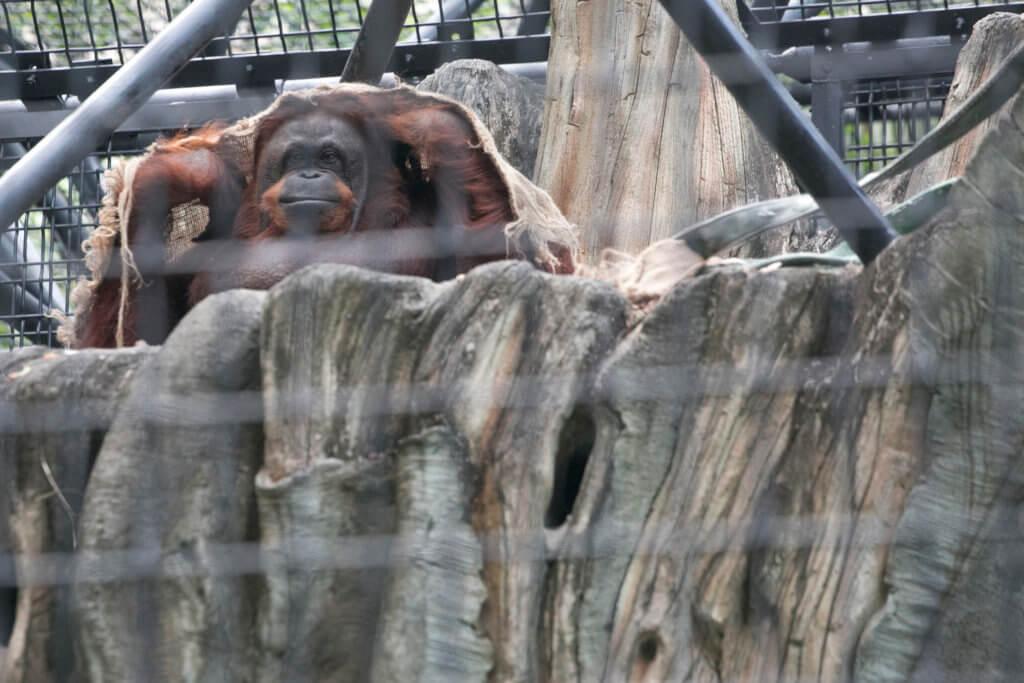 圖為香港動植物公園裏的婆羅洲猩猩。