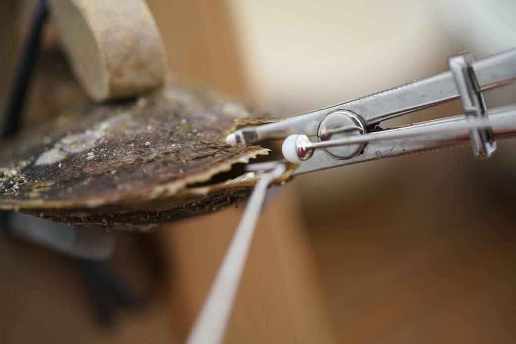 人工養珠最關鍵的是「插珠」步驟,在蚌內割開細小傷口,再把珠核和「裙邊」組織放進去,後者會慢慢分泌出珍珠層。