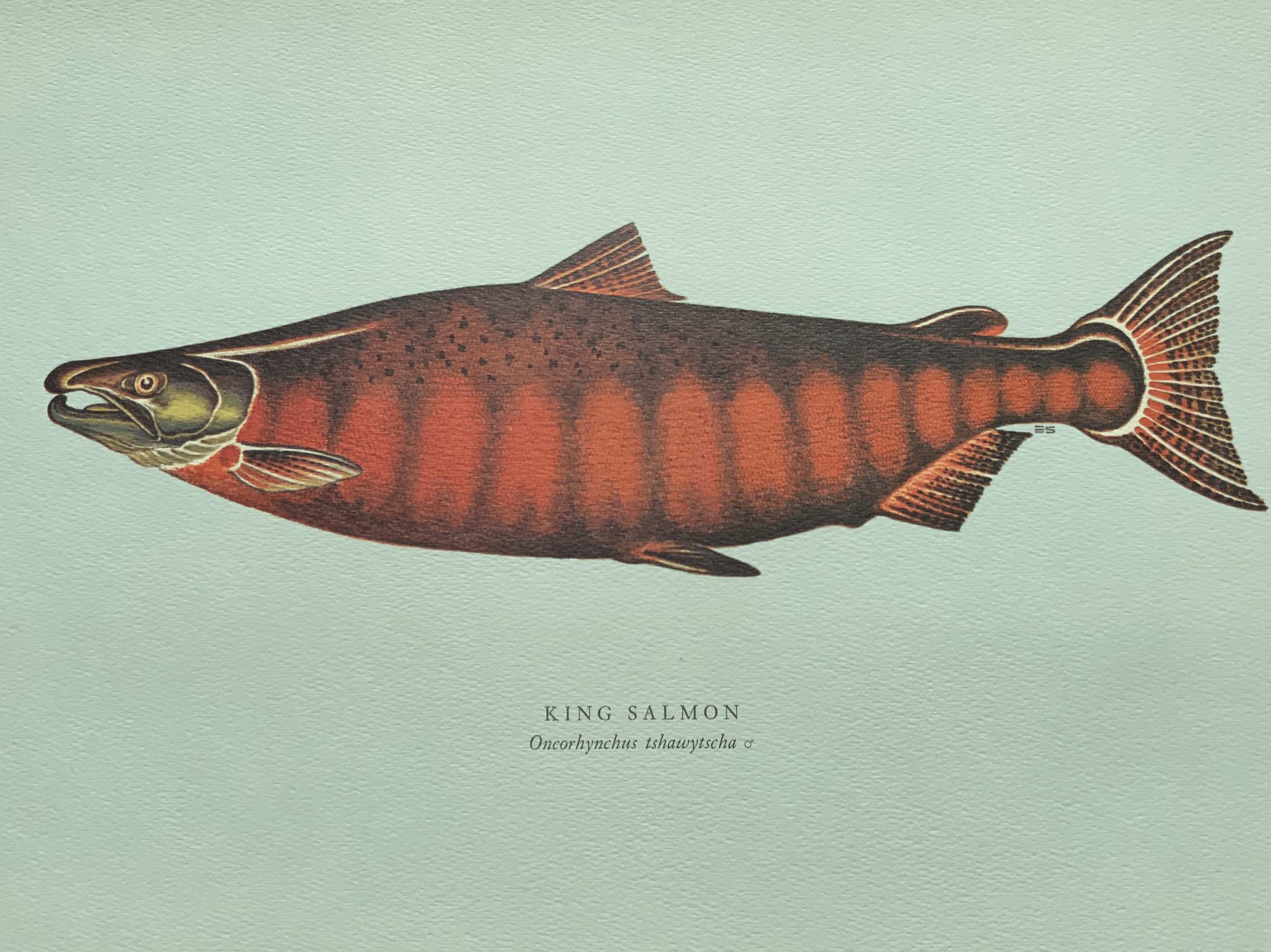 King salmon 皇帝鮭魚