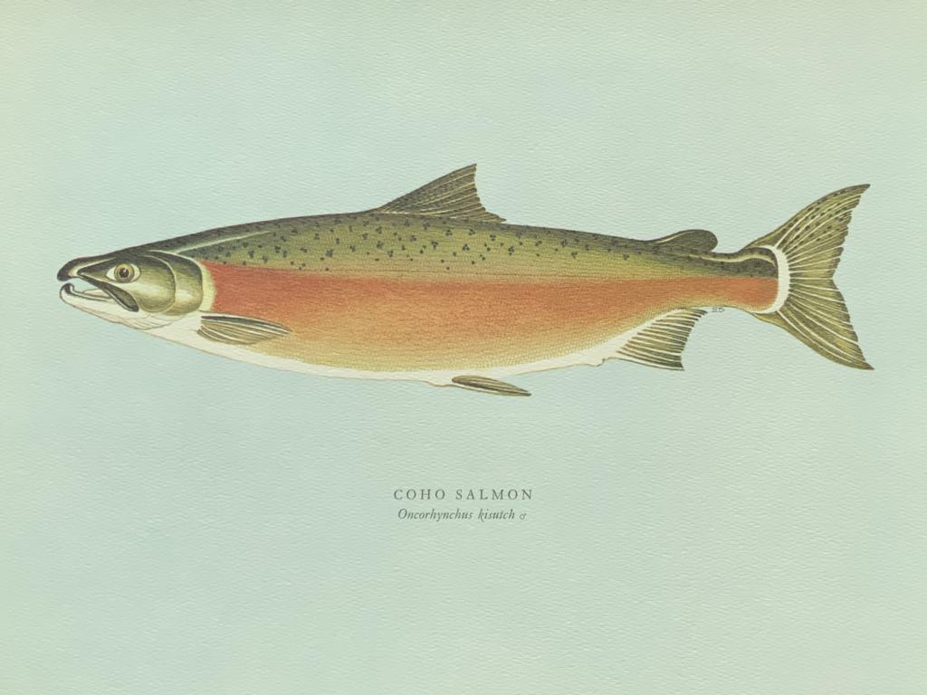 Coho salmon 大麻哈鮭魚 雄性大麻哈鮭魚成熟時身體轉紅,背部轉綠。 繁殖期由十月至十二月,甚至晚至二月。