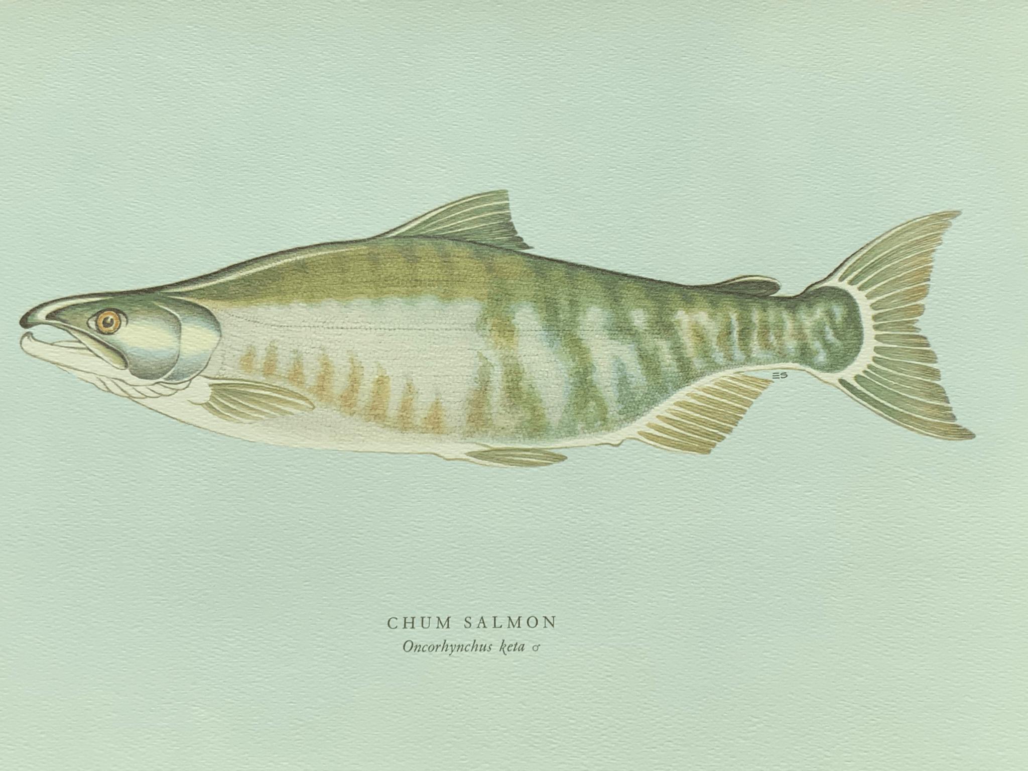 Chum salmon 太平洋鮭魚 太平洋鮭魚一般重八至十磅,出沒於亞拉斯加及西北利亞水域。 韓國和加州也有。