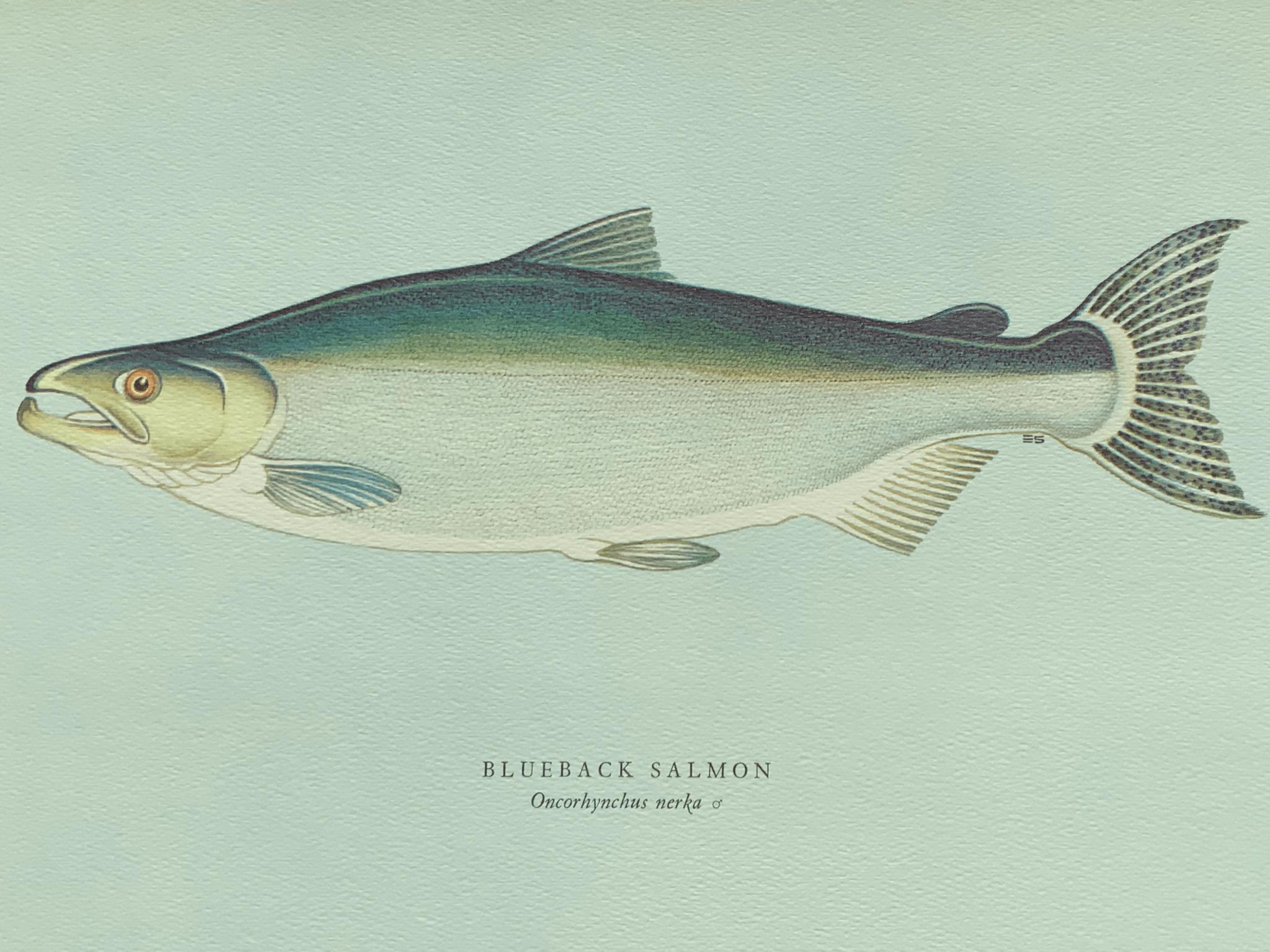 Blueback salmon 藍背鮭魚 顧名思義,這鮭魚背部深藍而帶一點綠,腹部銀白。 從北海道到南加州都有牠們的蹤迹。 一般重五至七磅;肉色明麗,肉質肥美,肉味細膩。