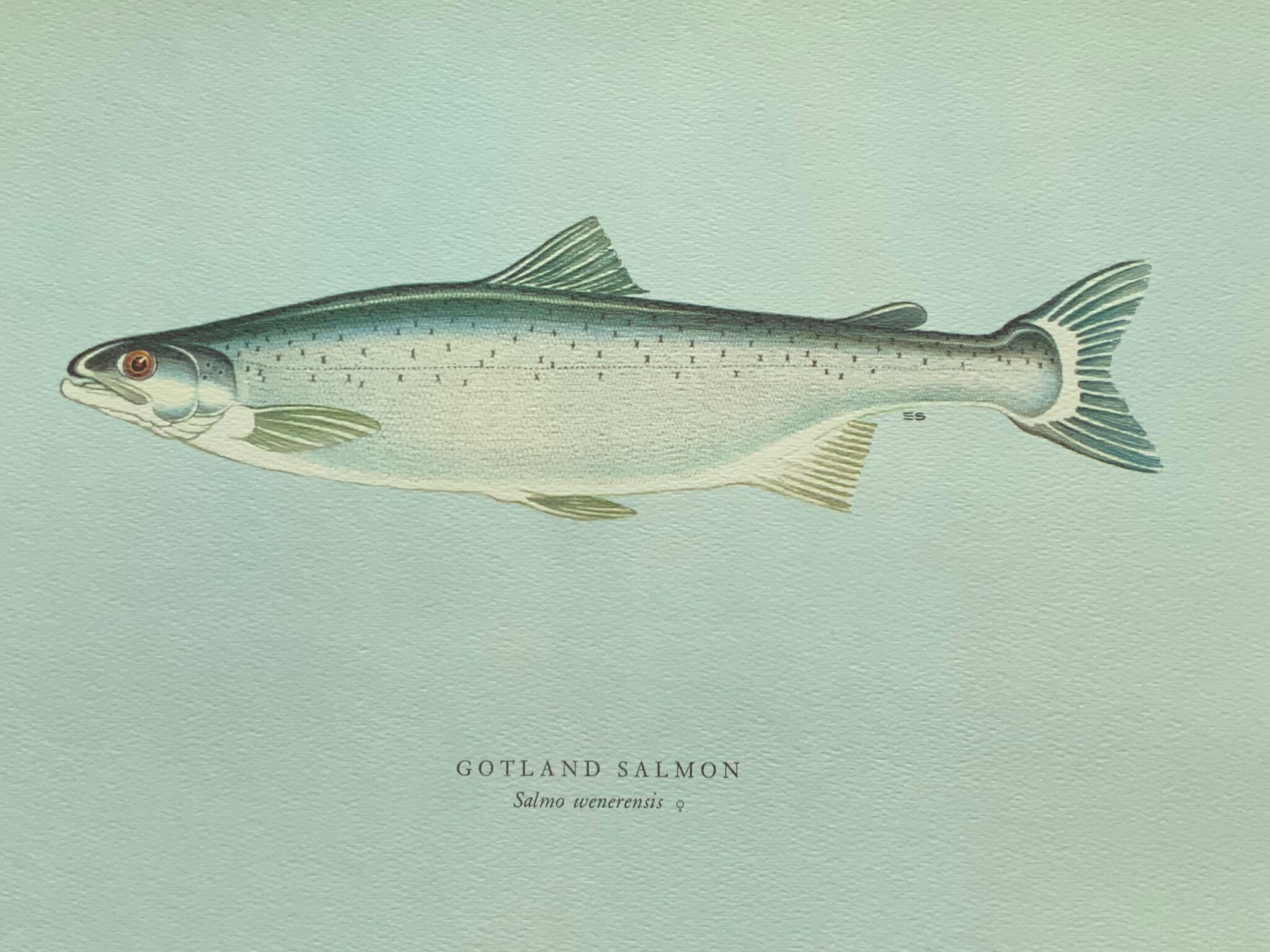 Gotland salmon 瑞典鮭魚 通常出沒於瑞典大湖之中,是大西洋鮭魚的一種; 體形纖麗,尾部細長,一般重六至八磅,最受釣魚一族歡迎。