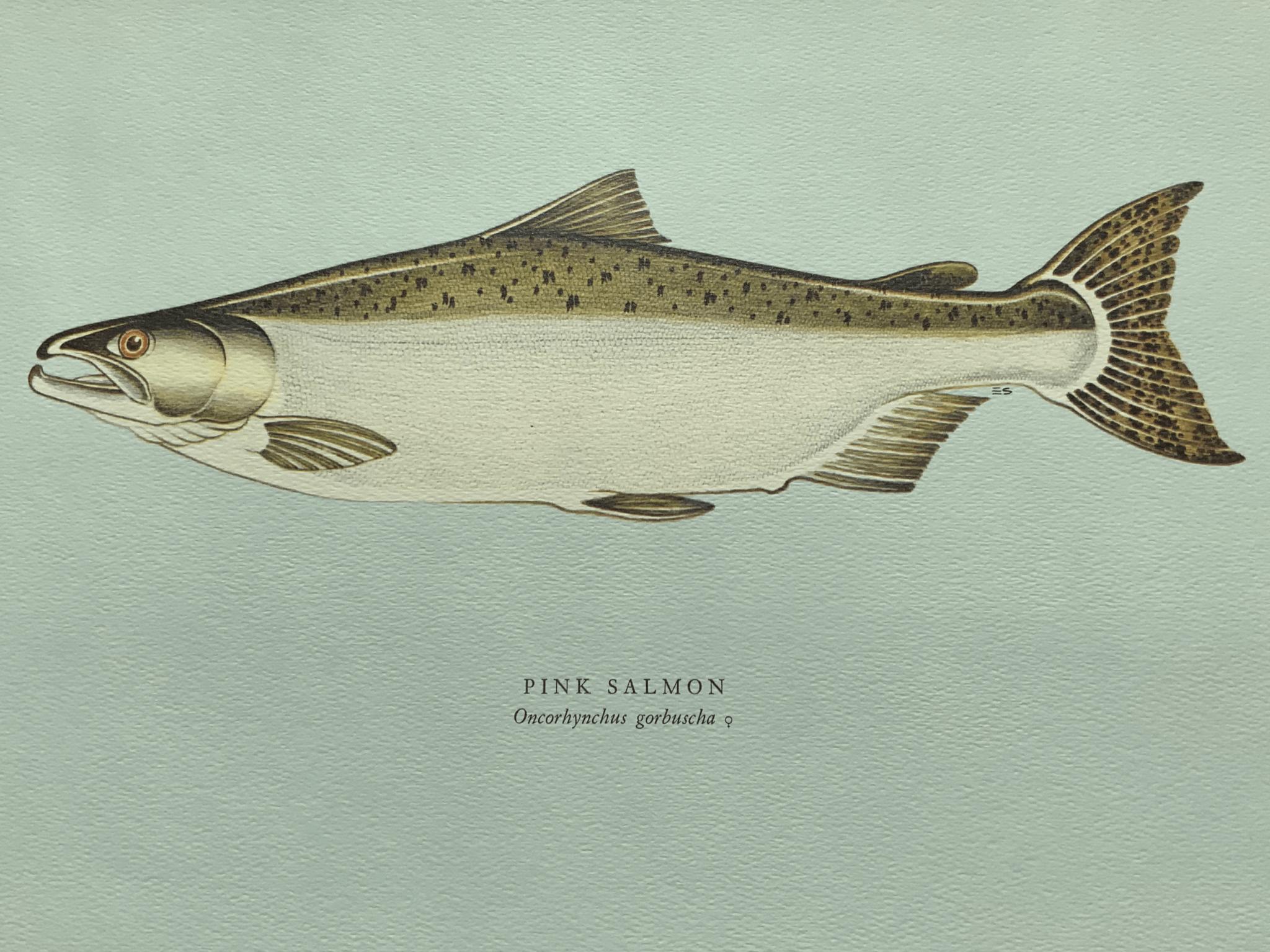 Pink salmon 粉紅鮭魚 粉紅鮭魚是太平洋品種之中最細小的一類,一般體長二十吋,體重三磅。