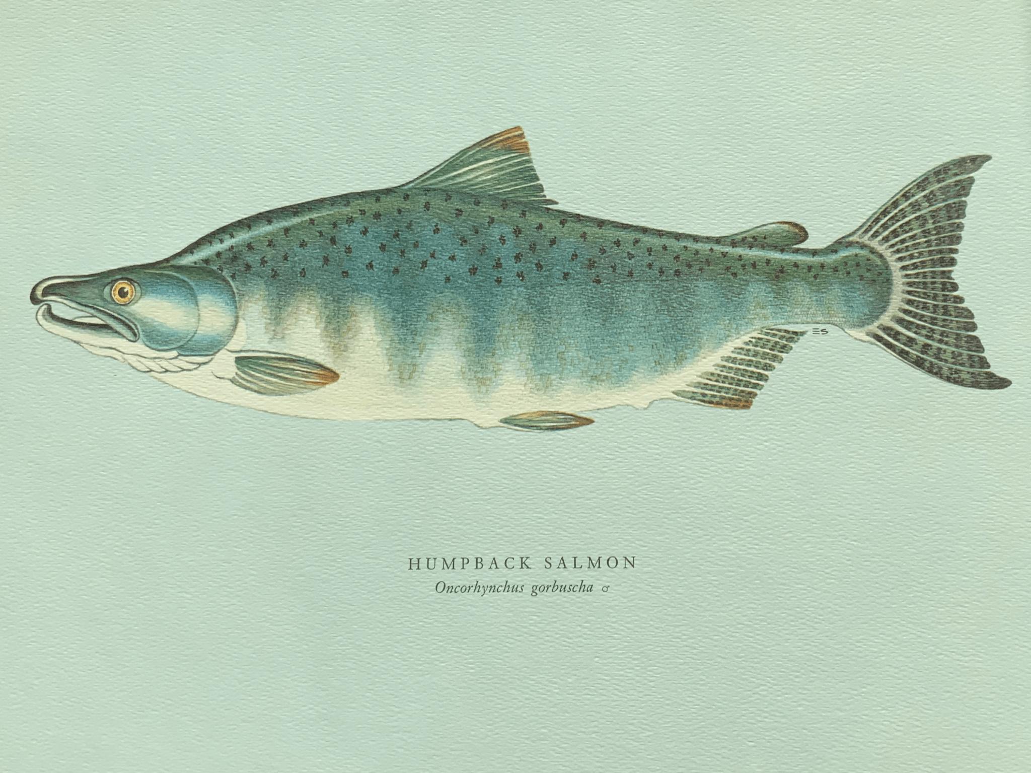Humpback salmon 拱背鮭魚 拱背鮭魚其實就是轉入淡水之後成熟了的雄性粉紅鮭魚。