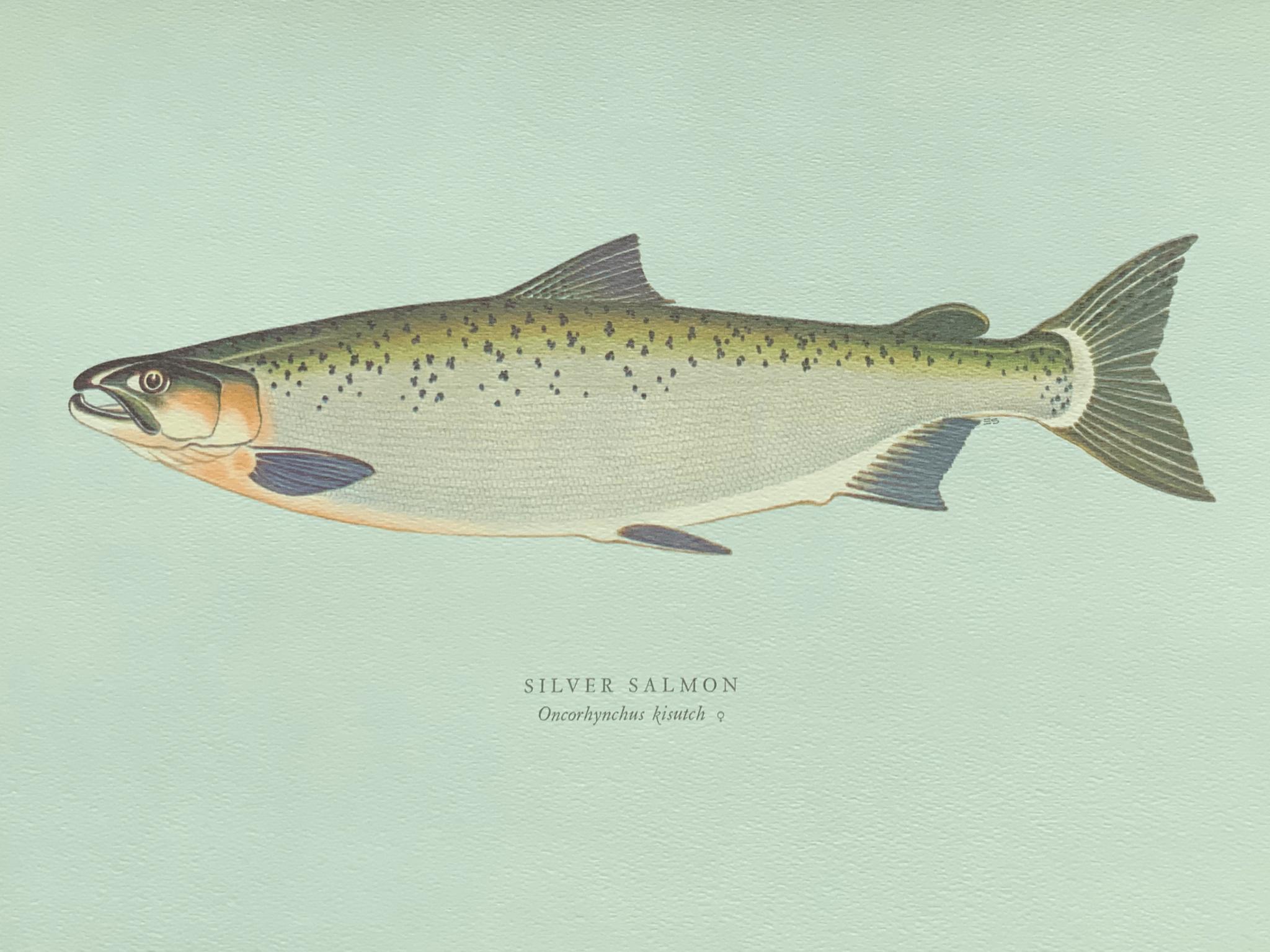 Silver salmon 銀鮭魚 銀鮭魚是釣魚郎的至愛,一來因為牠們喜歡浮近水面, 二來一旦上釣,瘋狂打轉,引得釣魚郎樂不可支。一般重四至十磅。