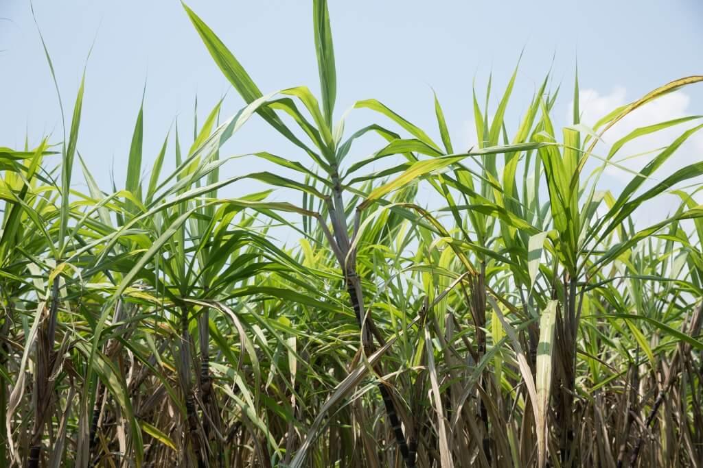蔗葉是有助分辨蔗的好壞,若蔗葉色澤翠綠,而非枯黃乾燥即表示蔗會香甜多汁。
