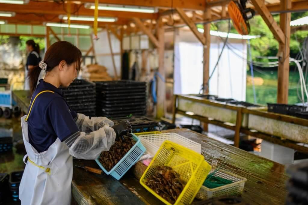 進行珍珠植核前,母貝需經人手作篩選,植核後需安置於養生筏休息。在此期間,每年需要給珍珠母貝進行兩次清洗,有些附在母貝上的寄生蟲和其他附着物無法透過水壓自淨,需要手動去除附着物,清潔母貝。