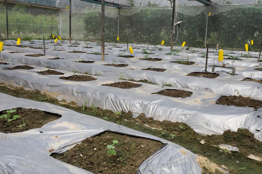 每株瓜苗之間相距約兩呎半,確保空氣流通,避免濕氣積聚。