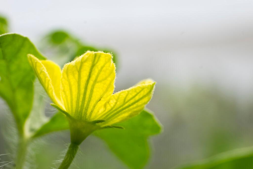 佘常光會等待瓜苗長出第二朵花才開始授粉,確保養分 充足,增加成瓜率。