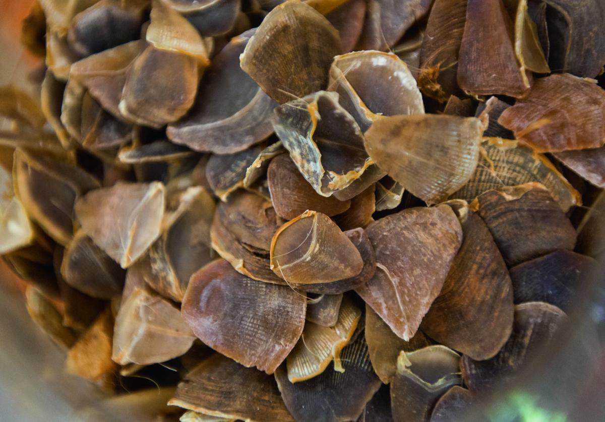 有人認為穿山甲鱗片能代替較昂貴的犀牛角入藥,兩者皆以角蛋白為主要成分。(攝影:Paul Hilton)