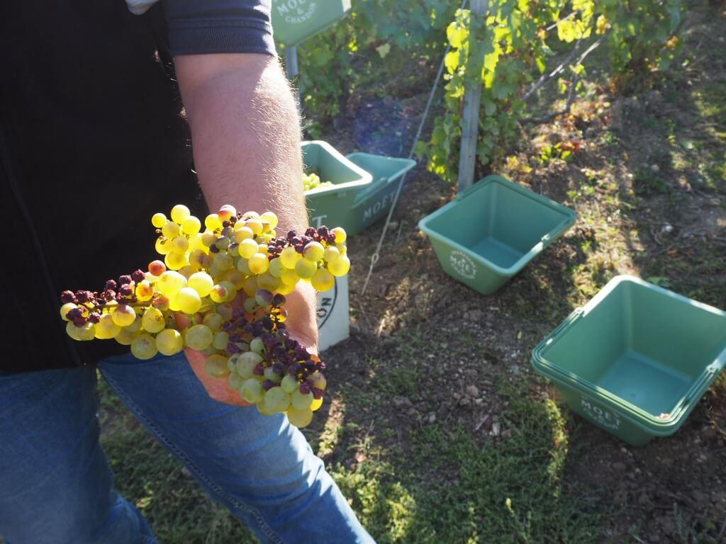 今年由於極端的天氣,Chardonnay的質素 不俗,粒粒飽滿多汁,但三款葡萄整體產 量不多,很大可能釀不到年份香檳。