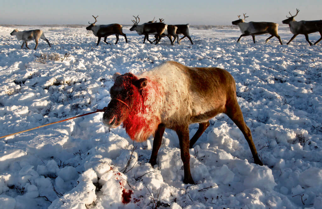 """Nenets live in -40C (-40F) in tents, or """"Yurts"""", in the Arctic tundra outside the city of Naryan-Mar in the Russian Nenets Autonomous Region.   Their main livelihood is  reindeers -- they sell the meat to sausage factories and the antlers to China for use as traditional medicine including aphrodisiac."""