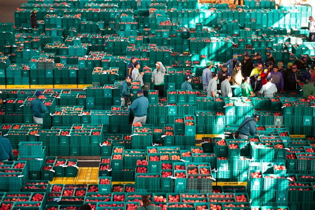 每天早上未到8時,便會聚集 一羣專業買手競投一箱箱不同 等級、不同種類的蘋果,感覺 與築地頭海鮮一樣熱鬧。