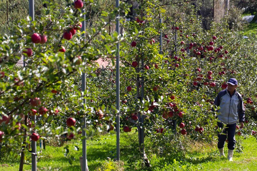 其他縣對日本矮果樹的解釋多為減少颱風損害,但青森縣的蘋果樹刻意矮化原意在於方便農民工作。