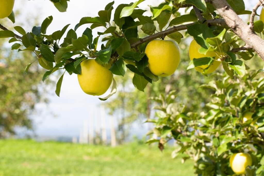農園裏種植了大量黃蘋果,這款是近年 人氣的TOKI,其特色是味道甜蜜,口感 爽脆,果汁豐腴。