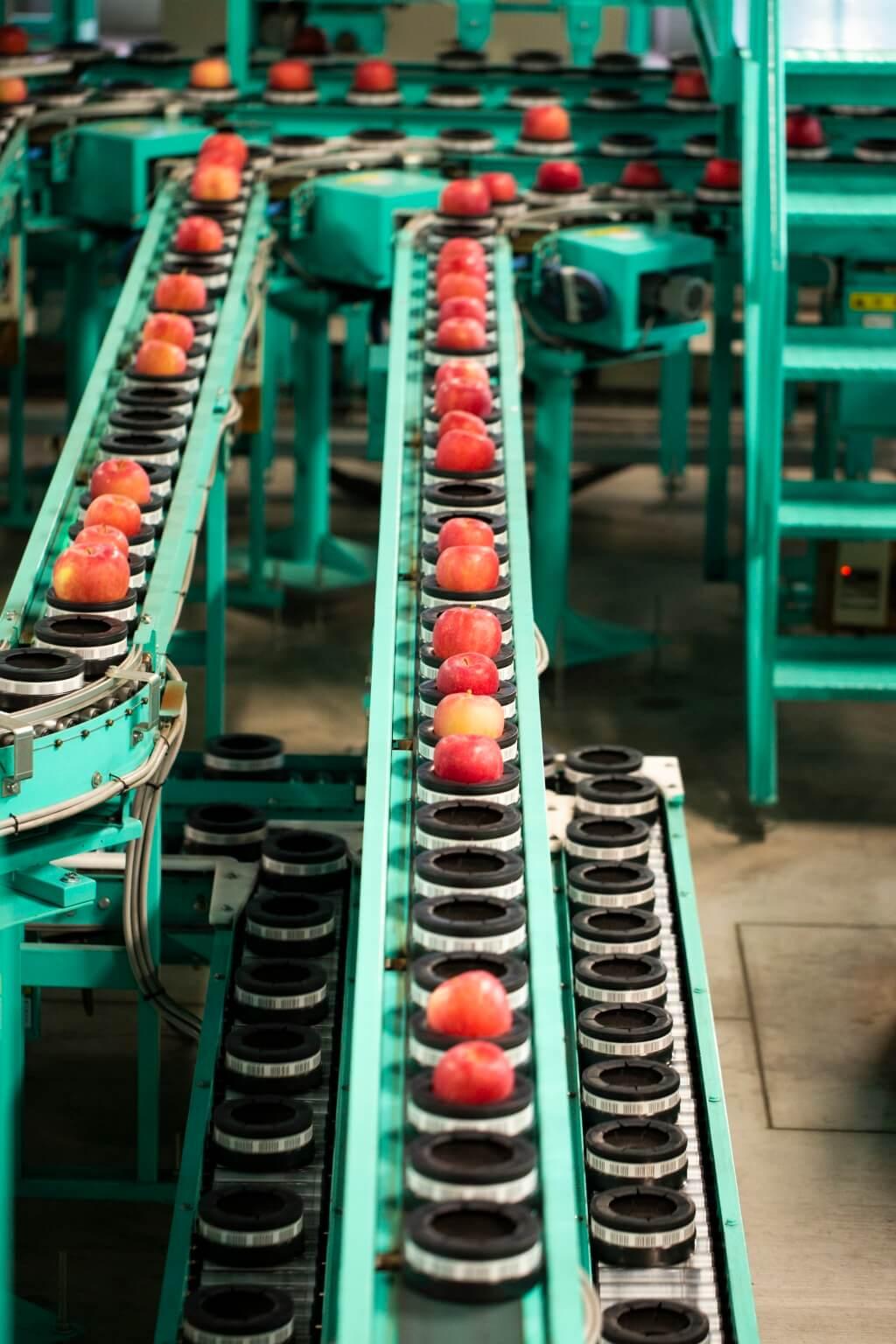 運輸帶上放上了一個個蘋 果,準備進入清洗及儀器分析 環節。好的將會入箱或包裝, 並送到國內外等地銷售,相反 果身有損傷的便會分開包裝並 送到果汁工廠,製作果汁。