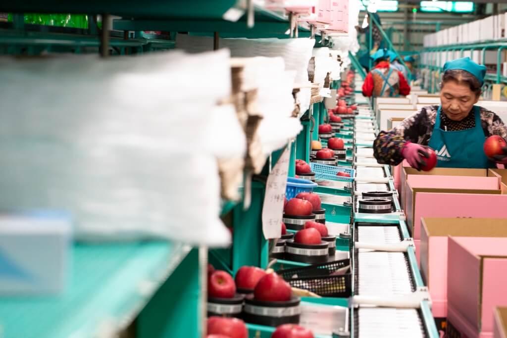 選好了的蘋果便會由人手逐一入箱,粉紅色的 箱子主要是包裝最頂級的特選級別蘋果,每個 蘋果甜度達13度以上。
