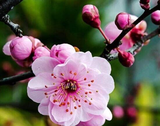 梅花也有抗氧化的作用,保濕補水,回復肌膚的生機。