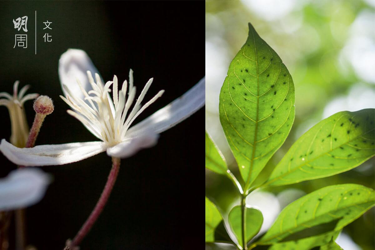 香 港 大 沙 葉 Pavetta Hongkongensis 為茜草科大沙葉屬植物,由於1934年首次發表時的採摘標本來自港島,故命名時加入香港。
